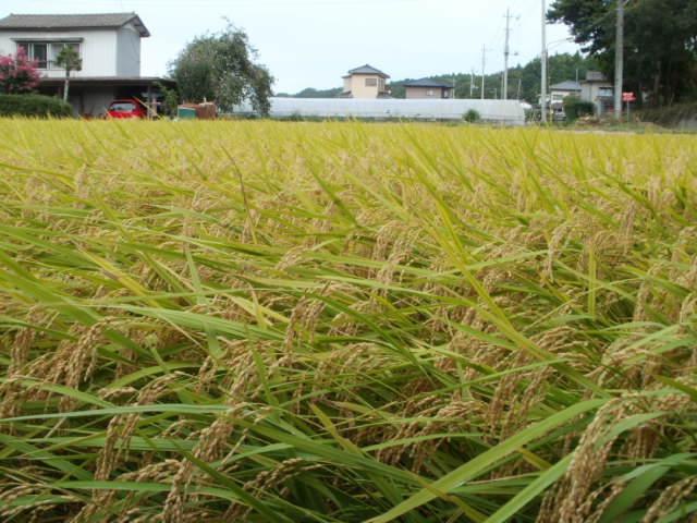 画像1: 28年産 完全無農薬有機ミネラル栽培の玄米 10kg