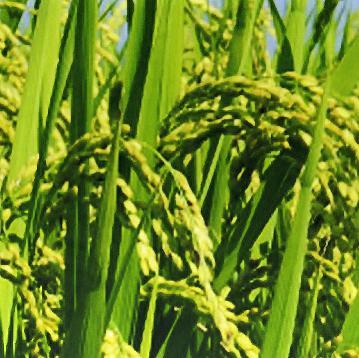 画像2: 28年産 完全無農薬有機ミネラル栽培の玄米 10kg